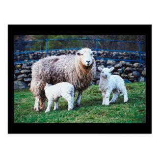 Familia de las ovejas postal