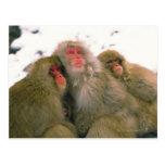 Familia de macaque japonés, Jigokudani, Tarjetas Postales
