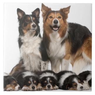 Familia del border collie azulejo cuadrado grande
