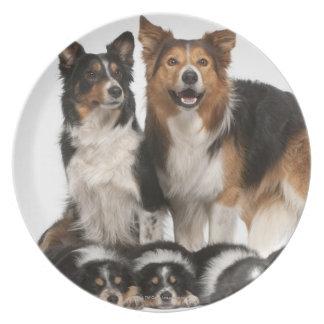 Familia del border collie platos
