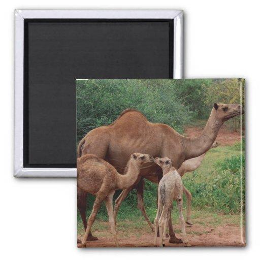 Familia del camello imán cuadrado