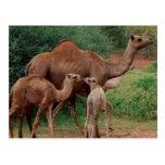 Familia del camello tarjeta postal