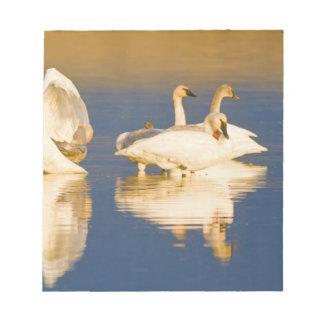 Familia del cisne de trompetista en la luz pasada  bloc de papel