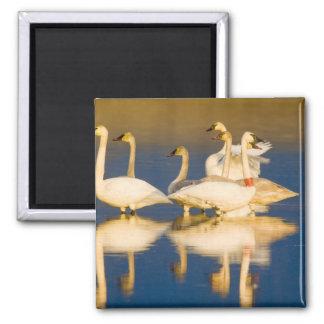 Familia del cisne de trompetista en la luz pasada  iman para frigorífico