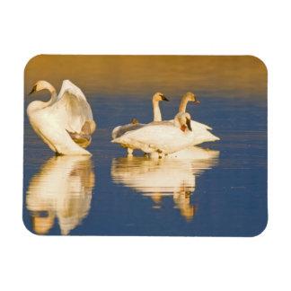 Familia del cisne de trompetista en la luz pasada imanes flexibles