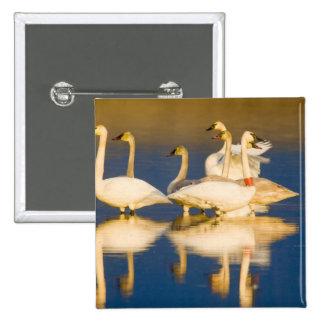 Familia del cisne de trompetista en la luz pasada  pin cuadrado