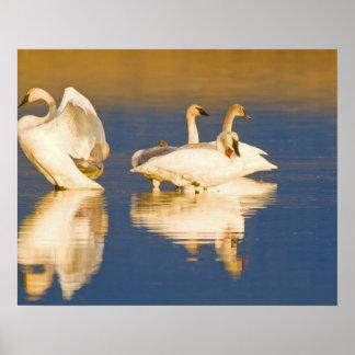 Familia del cisne de trompetista en la luz pasada  póster