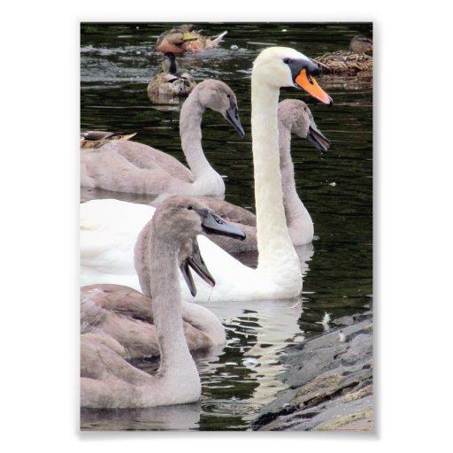 Familia del cisne mudo foto