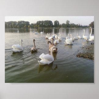 Familia del cisne póster