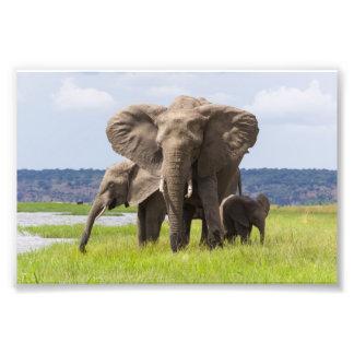 Familia del elefante africano, Botswana, impresión Cojinete