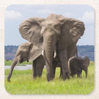 Familia del elefante africano, Botswana, práctico Posavasos Desechable Cuadrado