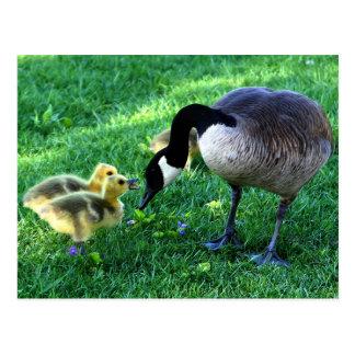 Familia del ganso de Canadá Tarjetas Postales