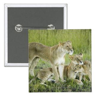 Familia del león en Kenia, África Pin Cuadrado