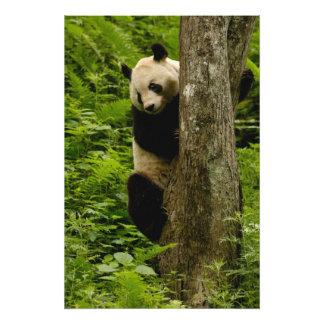 Familia del melanoleuca del Ailuropoda de la panda Fotografía