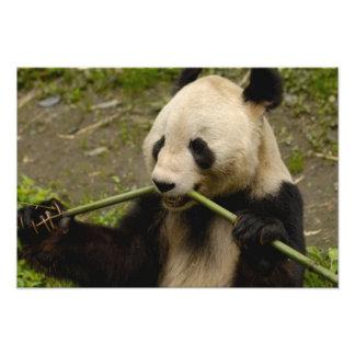 Familia del melanoleuca del Ailuropoda de la panda Fotografías