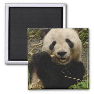 Familia del melanoleuca del Ailuropoda de la panda Imán Cuadrado