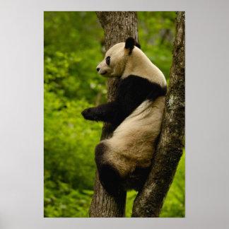 Familia del melanoleuca del Ailuropoda de la panda Impresiones