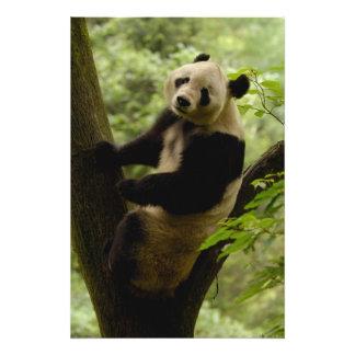 Familia del melanoleuca del Ailuropoda de la panda Foto