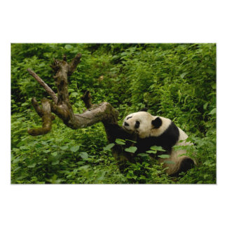 Familia del melanoleuca del Ailuropoda de la panda Impresion Fotografica