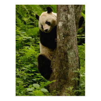 Familia del melanoleuca del Ailuropoda de la panda Postal