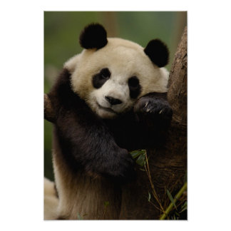Familia del melanoleuca del Ailuropoda de la panda Póster