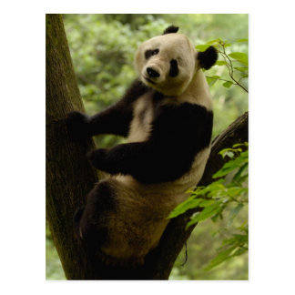 Familia del melanoleuca del Ailuropoda de la panda Tarjeta Postal