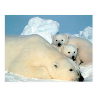 Familia del oso polar tarjeta postal