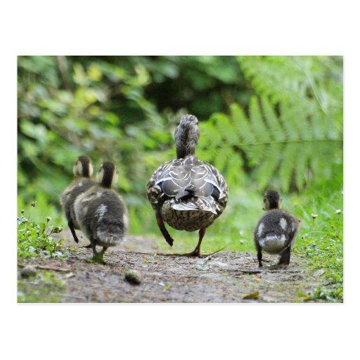 Familia del pato postal