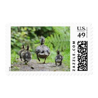 Familia del pato sello