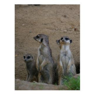 Familia linda de Meerkat que dice hola Postal