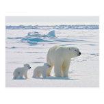 Familia Osa Polar Tarjetas Postales