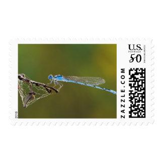 Familiar Bluet, Enallagma civile, male with dew, Postage