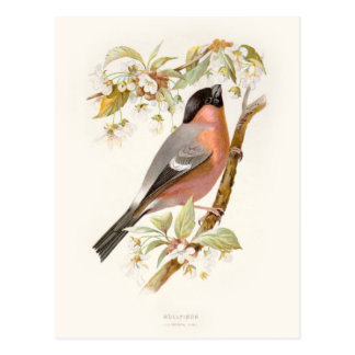 Familiar Wild Birds Swaysland Great Bullfinch Postales
