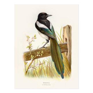 Familiar Wild Birds Swaysland Magpie Postales