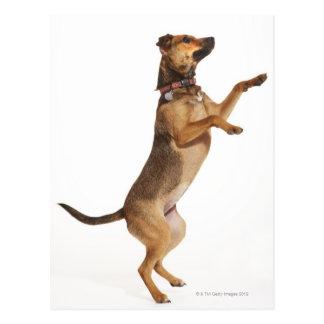 Familiaris 2 del Canis Tarjeta Postal
