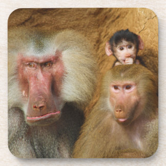 Family of Baboons Papio Hamadryas Cologne Zoo Drink Coasters