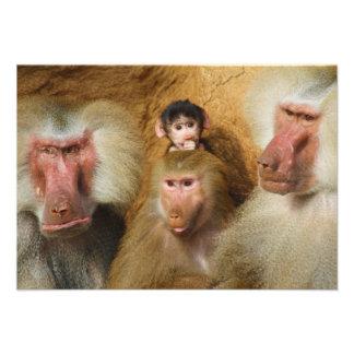 Family of Baboons Papio Hamadryas Cologne Zoo Custom Invite