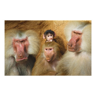 Family of Baboons Papio Hamadryas Cologne Zoo Photograph