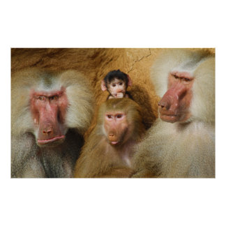 Family of Baboons Papio Hamadryas Cologne Zoo Poster