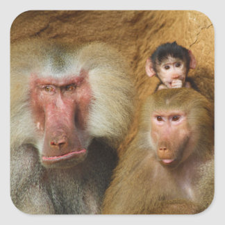 Family of Baboons Papio Hamadryas Cologne Zoo Square Sticker