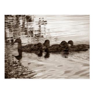 Family of Ducks Postcard
