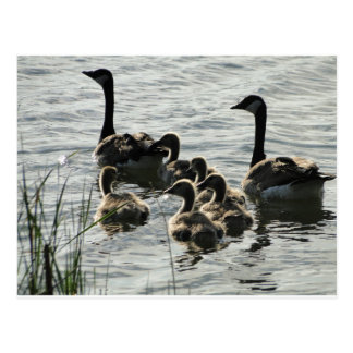 Family of Geese on Lake Postcard