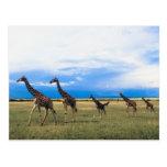 Family of Giraffes Postcard
