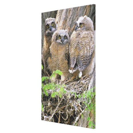 Family of Great Horned Owlets (Bubo virginianus) Stretched Canvas Prints