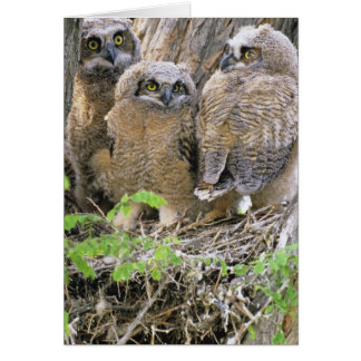 Family of Great Horned Owlets (Bubo virginianus) Card