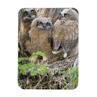Family of Great Horned Owlets (Bubo virginianus) Magnet