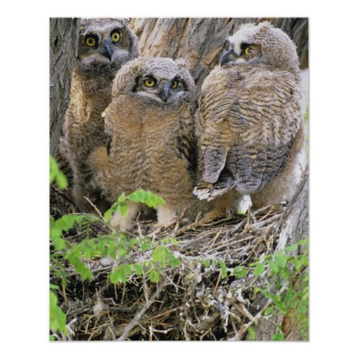 Family of Great Horned Owlets (Bubo virginianus) Print