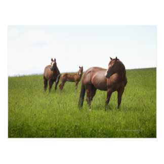 Family of horse in field postcard