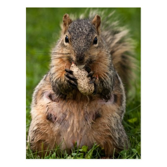 Famished Fox Squirrel Postcard