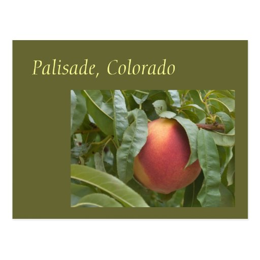 Famous Palisade Peach on the Tree Post Card